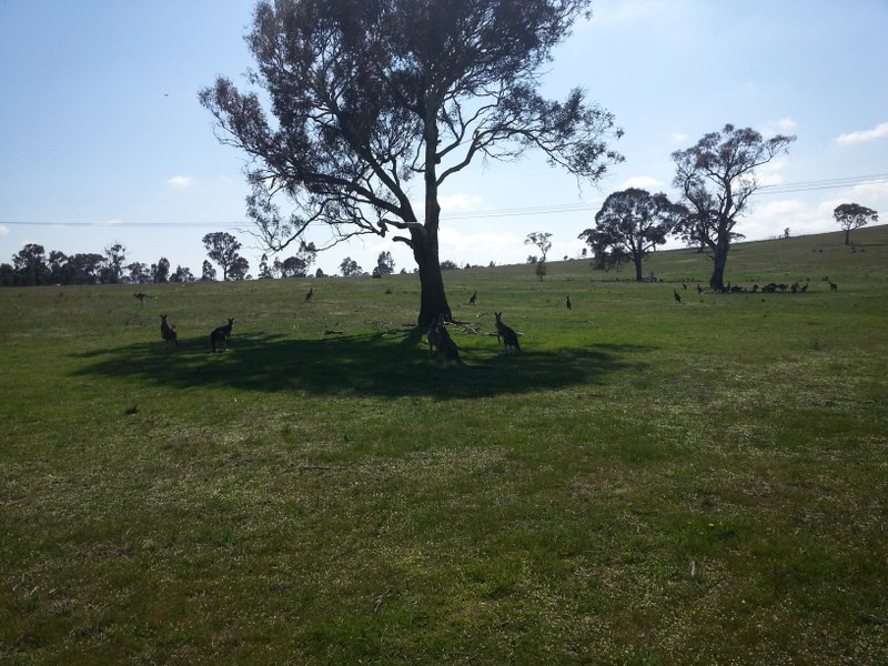 Kangaroos hopping in the Gungaderra grassland. Photo: Daniel Boyle
